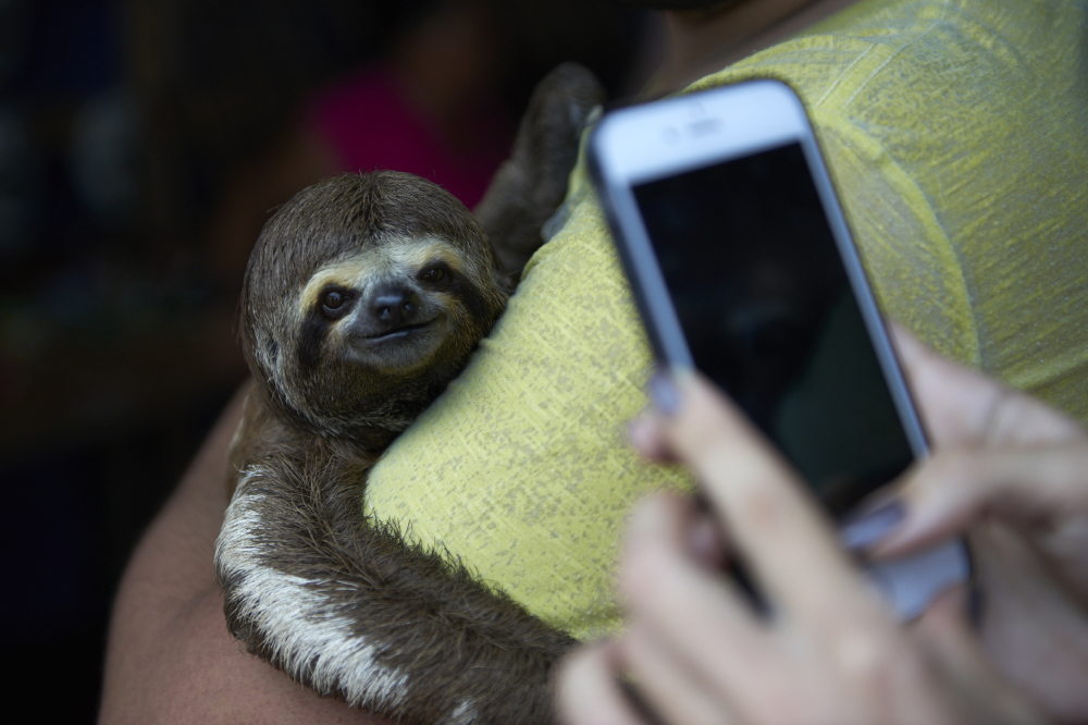 Local sloths are taken from the wild and used for harmful selfies with tourists