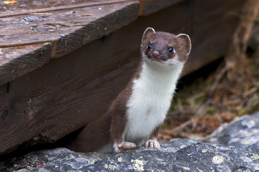 dream interpretation weasel