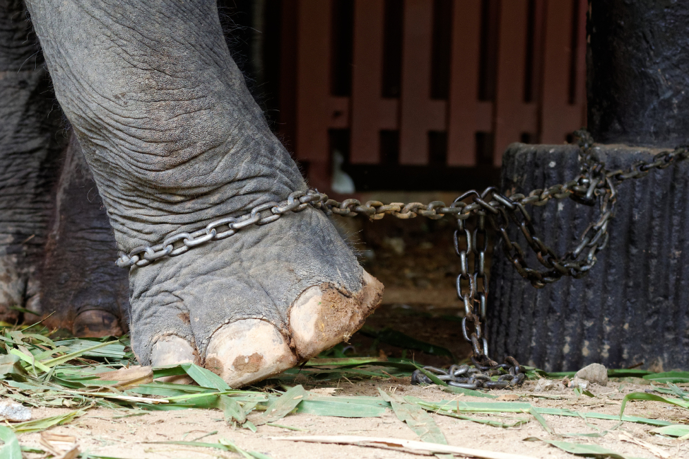 The elephants suffer a lifetime of abuse