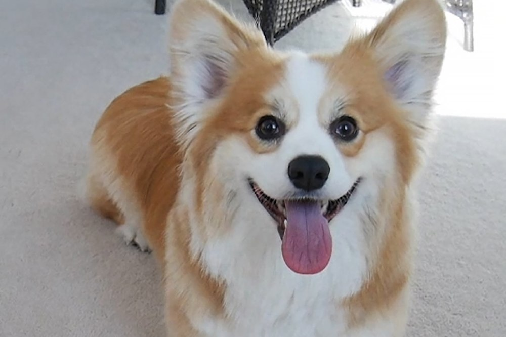 Corgi is one of the breeds that has increased in popularity