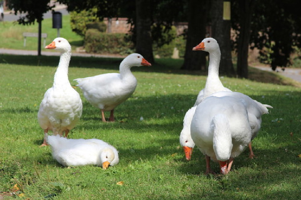Good news for geese