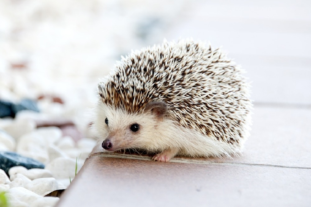 We find out what it means to dream about a hedgehog?