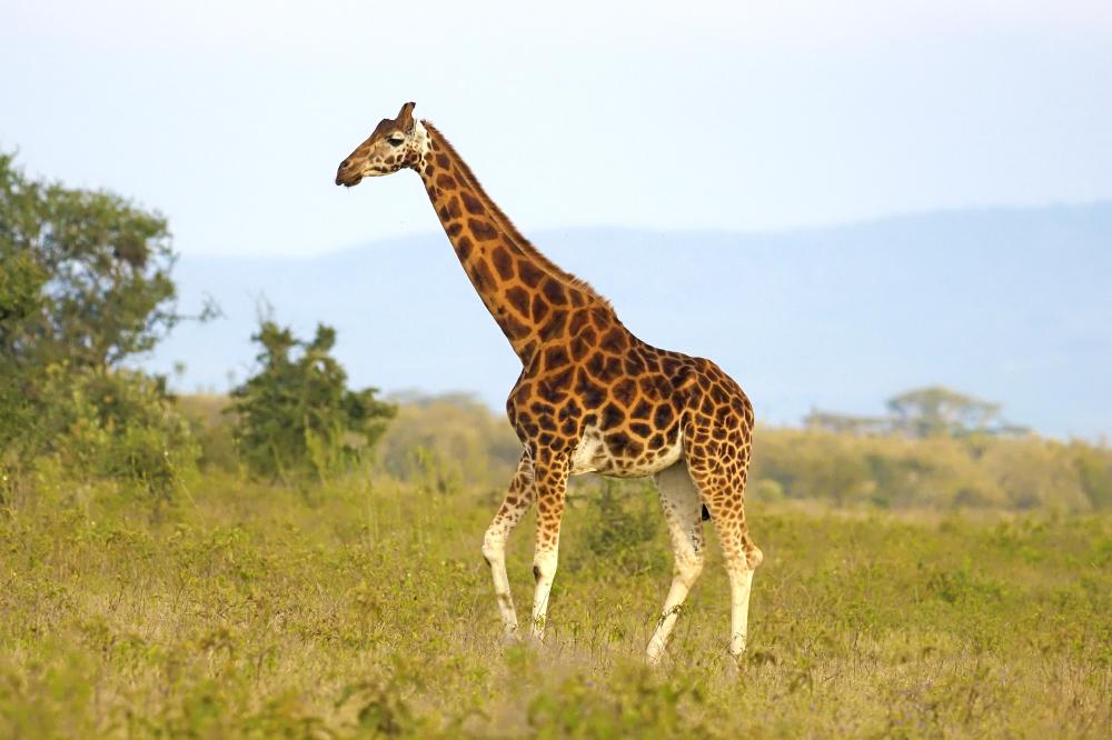 Why we need to save the Rothschild Giraffe