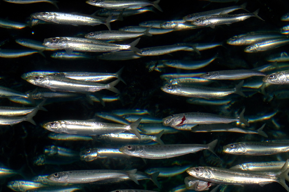 What does it mean when you dream about sardines?