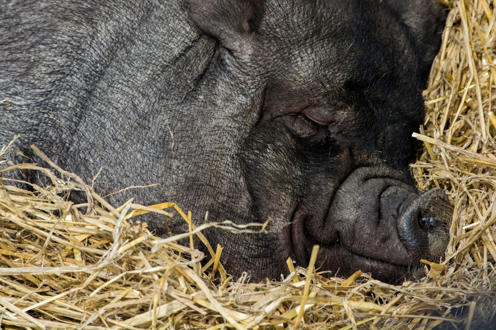 Pigs in factory farms can only dream about a warm, comfortable bed