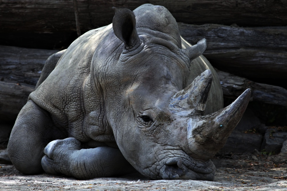 We find out what it means to dream about a rhino