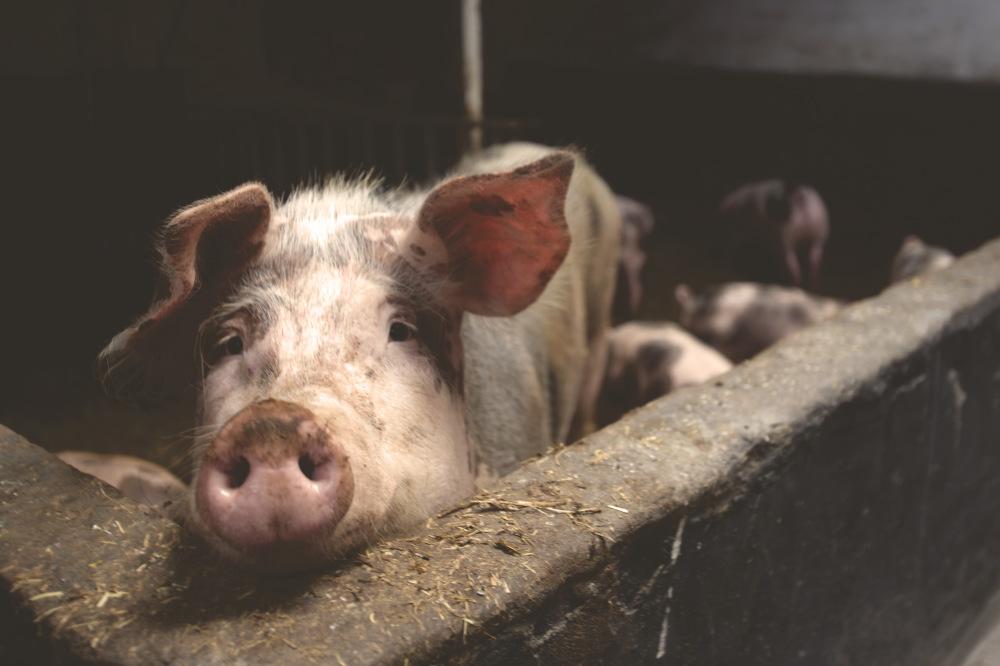 Dream Interpretation Pig