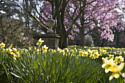 Daffodils at Nyman - ©National Trust Images David Levenson