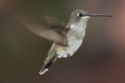 'Humming birds dance - a spectacle for heart and soul'