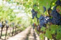 the end of August to October is the best time to see the vines when they're ready to harvest