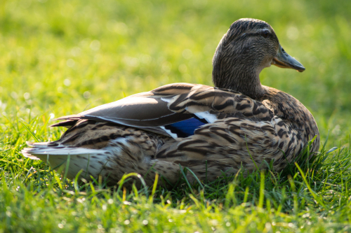 We find out what it means to dream about a duck
