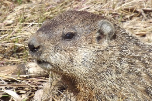 We find out what it means to dream about a groundhog