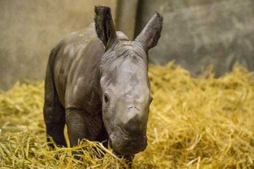 Sudan the rhino is dead. But his sperm could save the species