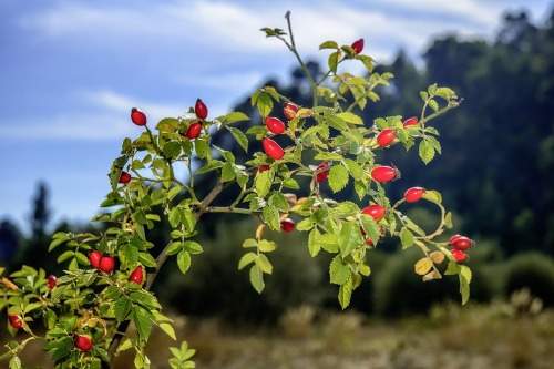Rosehip oil has many benefits