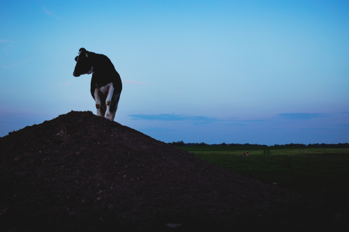 What really happens to cows in the dairy industry?