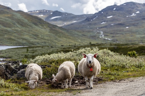 the early history of sheep and wool industry History of lopi iceland in about 874  and the wool industry gradually became not only important for the  it was the sheep who provided these early settlers.