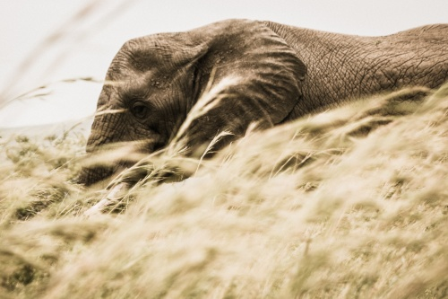 We find out what it means to dream about an elephant