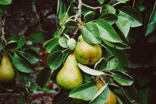 We find out what it means to dream about pears
