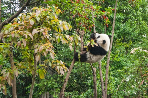 We find out what it means to dream about a panda