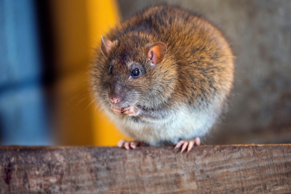 Pest controllers to use facial recognition technology to catch rats