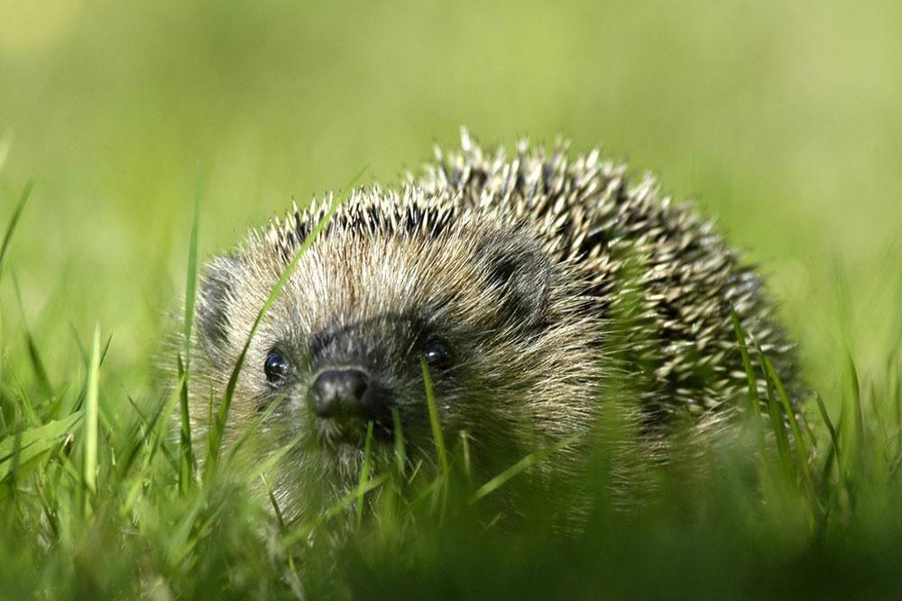 Girl left 'screaming in agony' after hedgehog bite