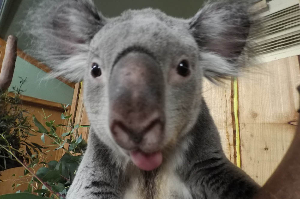 Adelaide family finds unexpected ornament - a young koala - hiding in Christmas tree
