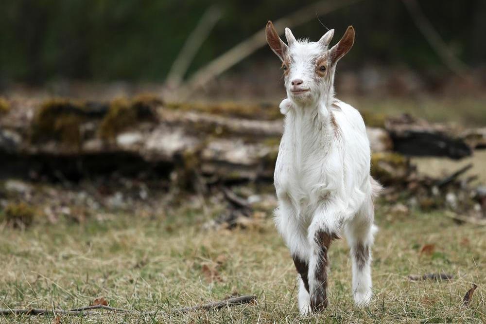 A goat named Lincoln has been elected as the honorary pet mayor of Fair Haven.