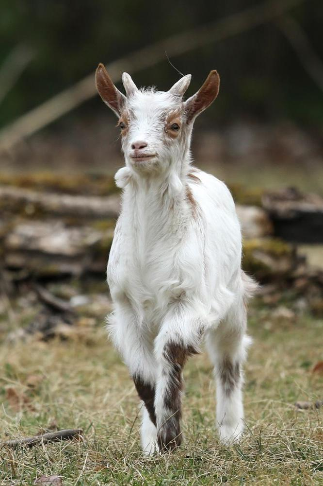 Miracle goat