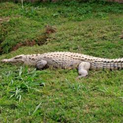 Giant crocodile caught