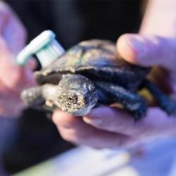 A wildlife rescue is urging women to send bra clasps to fix turtle shells