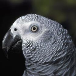 Parrot imitates telling off