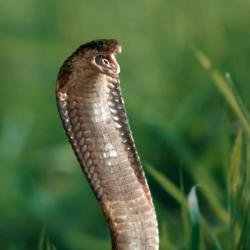 A snake that could eat a human is on the loose in Cambridge