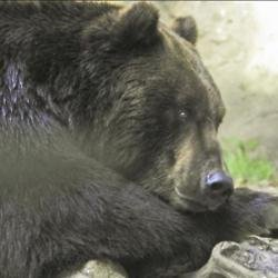 A bear called Beadnose has won Alaska's annual Fat Bear Week contest