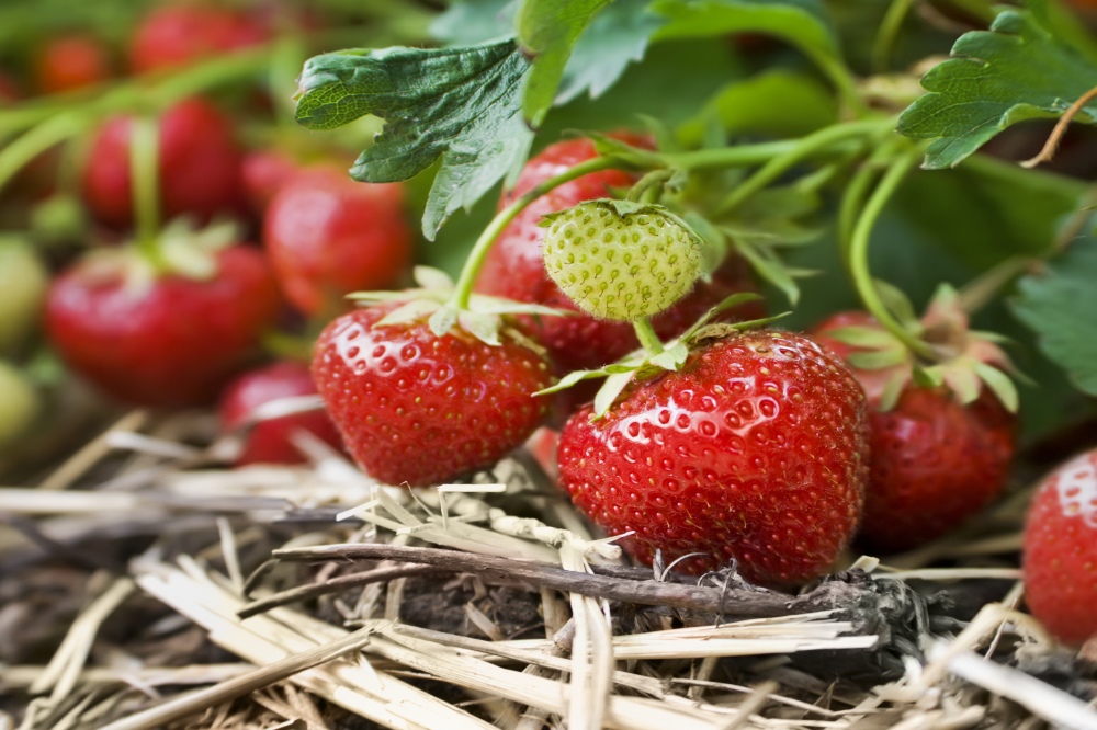 7 things you probably didn't know about strawberries