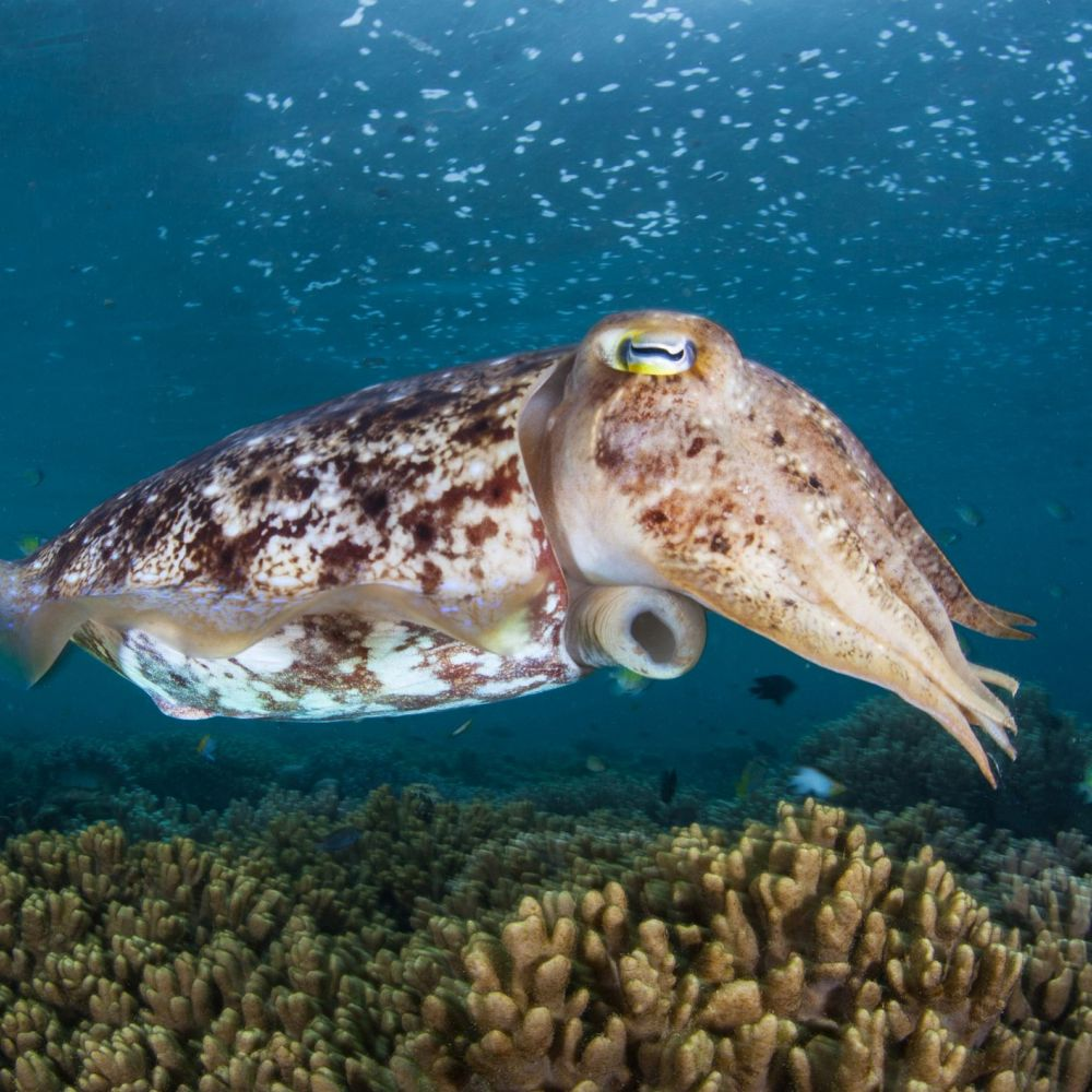 A Broadclub cuttlefish, hovers above a coral reef in Raja Ampat (iStock/PA)