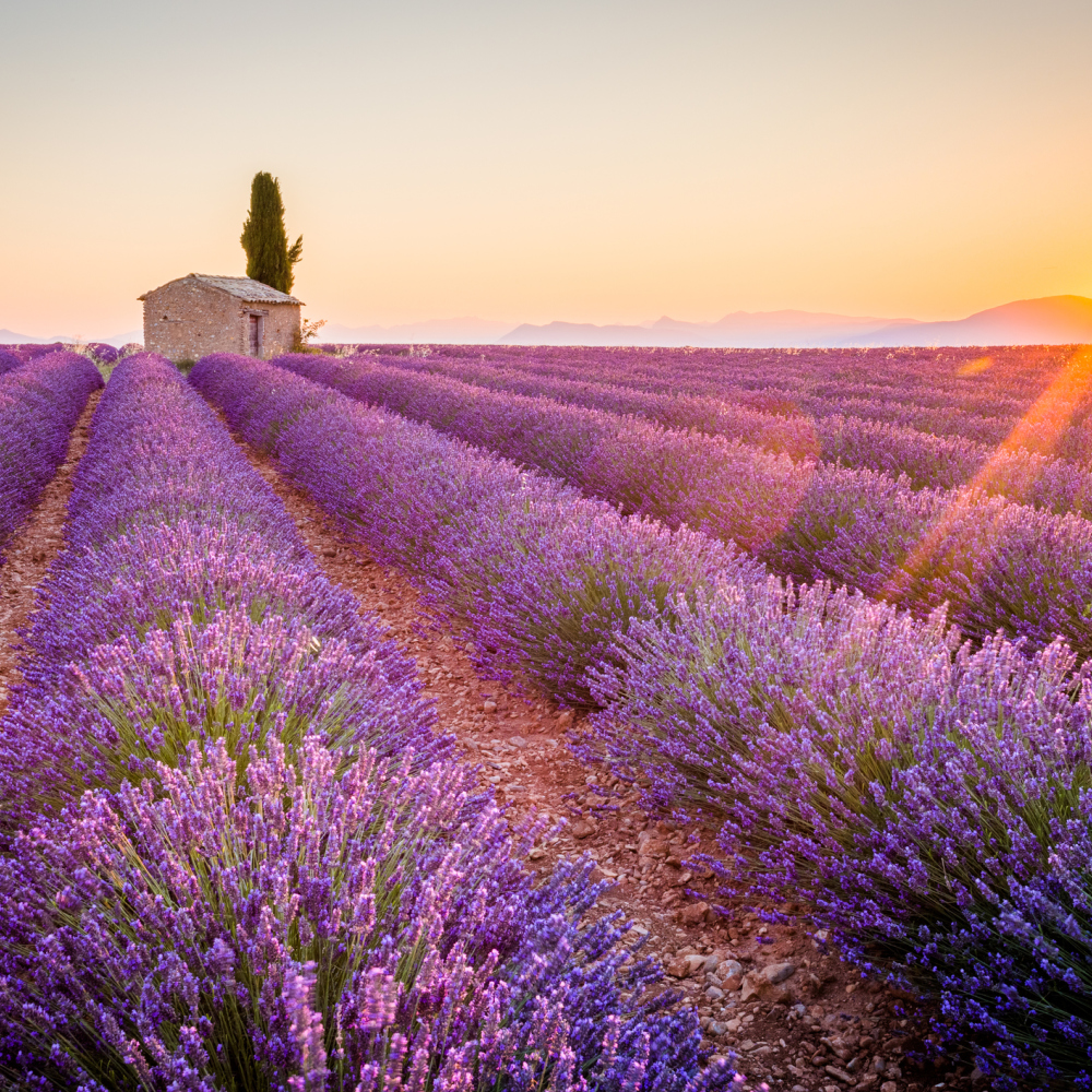 Valensole Plateau in Provence (iStock/PA)
