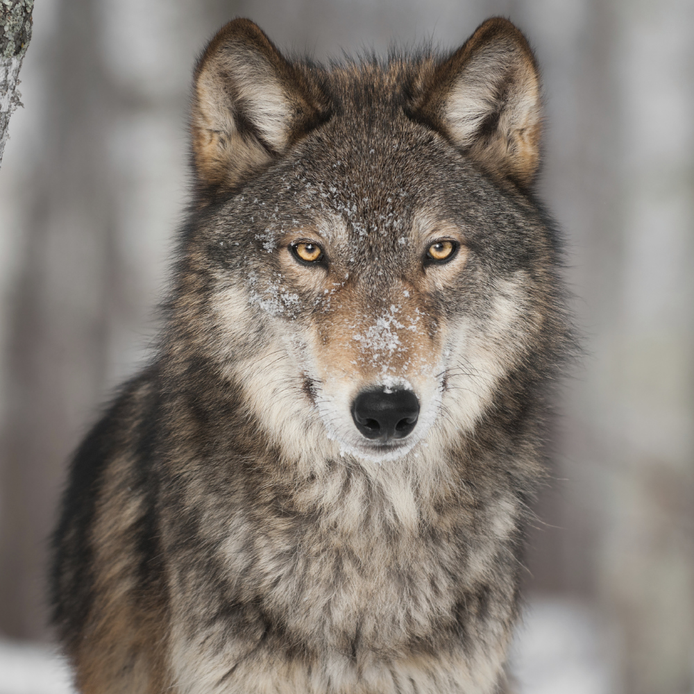 Wolf populations thrive in Chernobyl