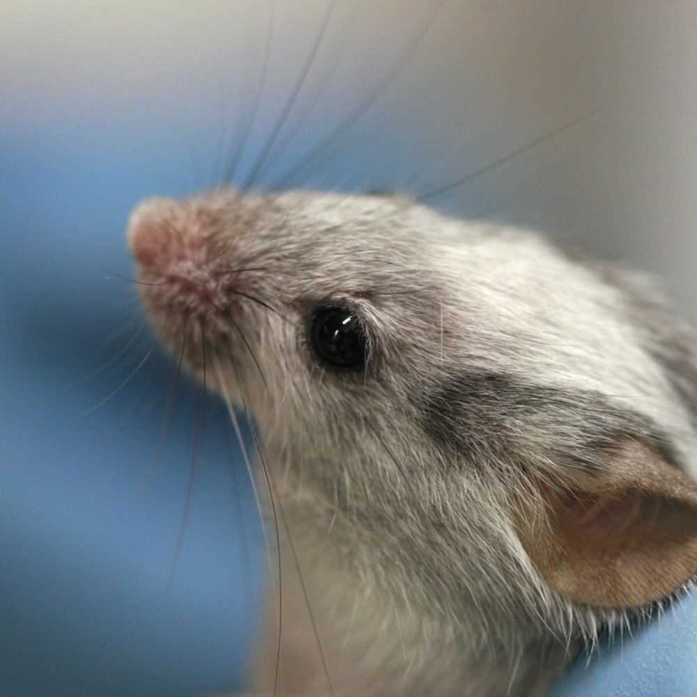We find out what it means to dream about mice