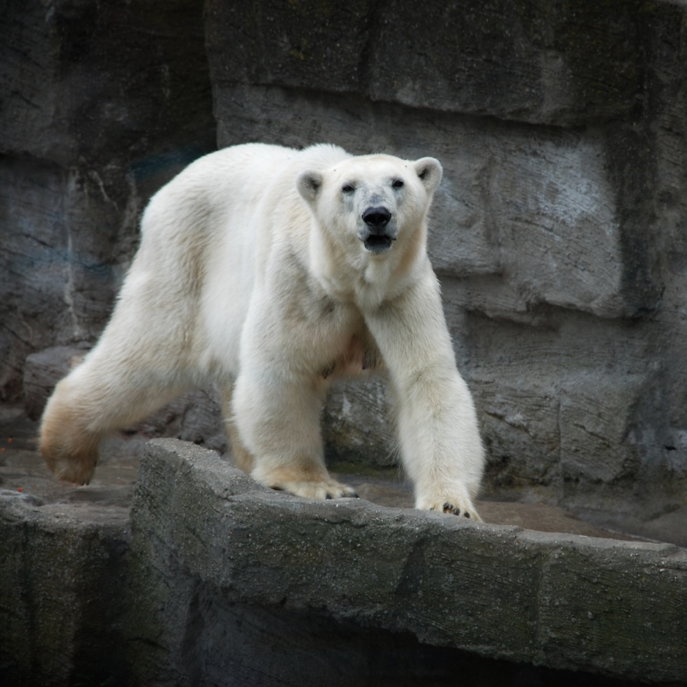 Dream interpretation polar bear we find out what it means to dream about a polar bear biocorpaavc Choice Image