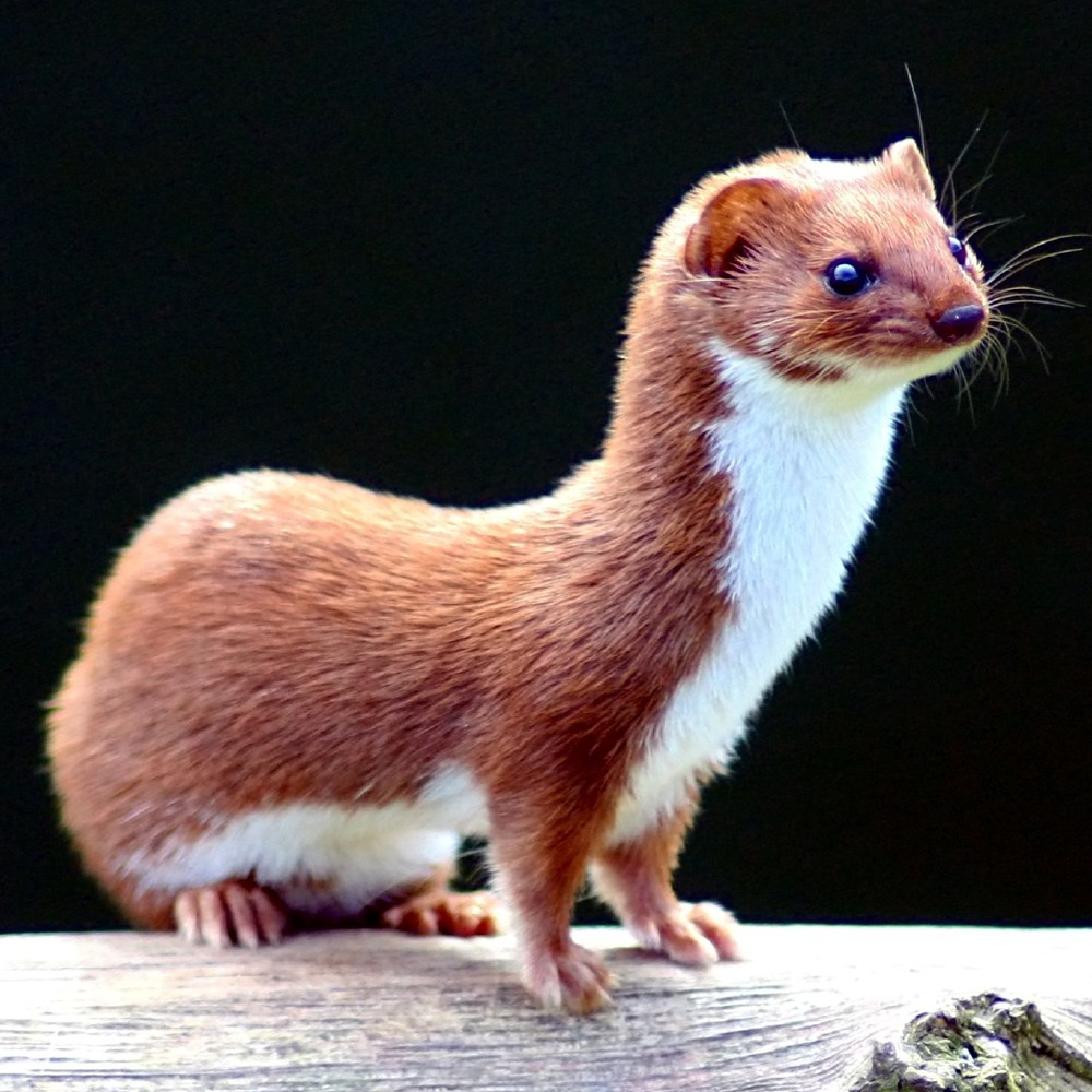 We find out what it means to dream about a weasel