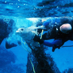 A seal entangled in a fishing net is rescued by divers