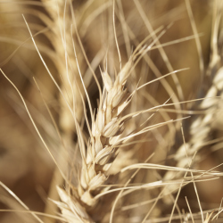 Gluten is a type of protein found in cereals, certain grains, and wheat.
