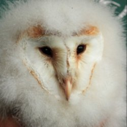 heligan-barn-owl