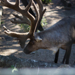 We find out what it means to dream about a reindeer