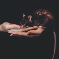 We find out what it means to dream about a rat